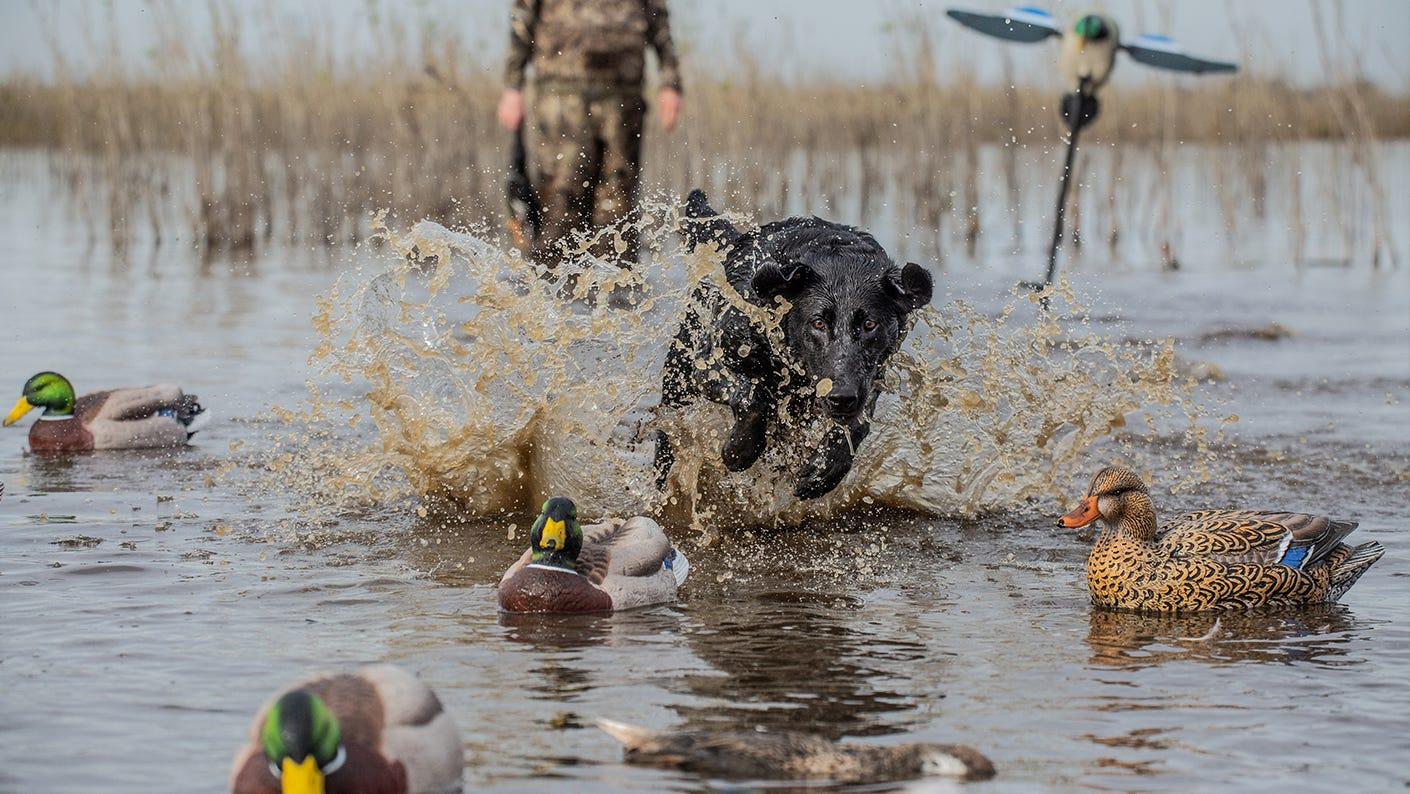 Bird duck training dog in water.