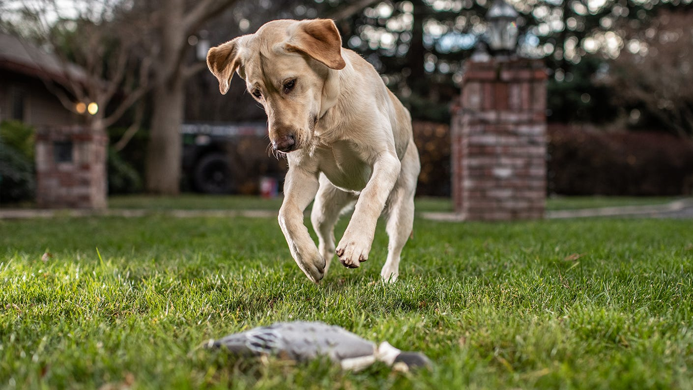 Puppy training with a duck.