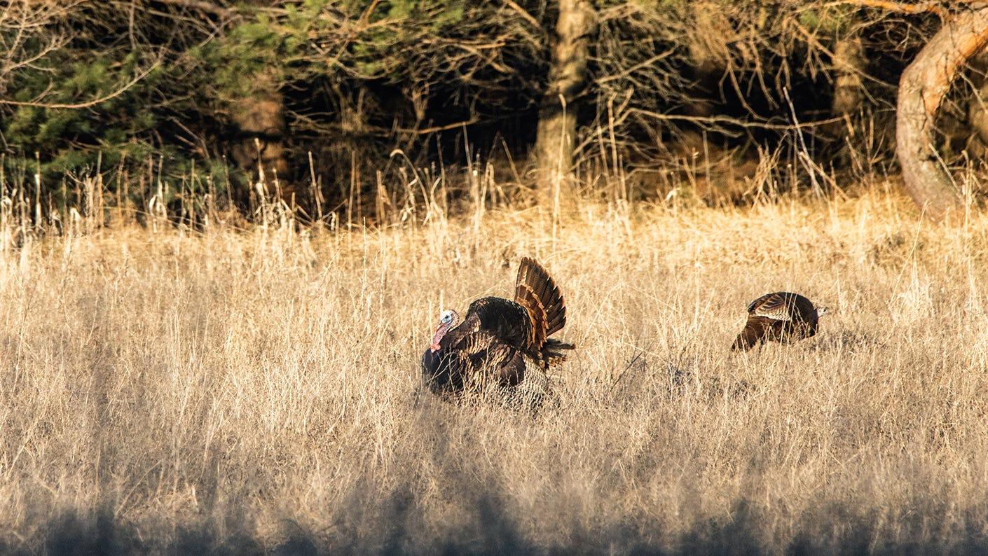 Successfully Hunting Pressured Turkey